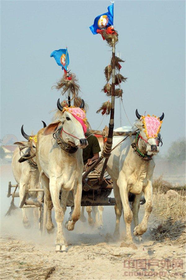 柬埔寨举行牛车赛跑 迎高棉新年
