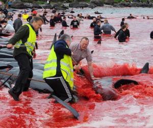 法罗群岛集体捕杀巨头鲸 海水被染红