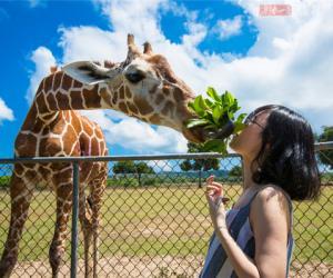 菲律宾奇特的野生动物园 嘴叼树枝喂长颈鹿